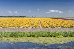 Flowers (Pieter Musterd) Tags: holland canon nederland thenetherlands canon5d nl paysbas bloemen noordholland niederlande sloot fietsvakantie musterd pietermusterd bloemenvelden canon5dmarkii pmusterdziggonl zomer2015