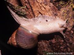 Snail (Hickatee) Tags: forest rainforest belize wildlife culture snail toledo jungle puntagorda hickatee toledodistrict hickateecottages hickateebelize hickateepuntagorda