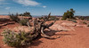 Juniper tree, Arches National Park, Utah. From my archives of 2014. Explored. (jaros 2(Ron)) Tags: moab arches archesnationalparkutah nikond300s nikon175528pro utah moabutah redrock lightroom raw ndgrad filter formatthitech manfrotto