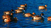 Pintails-Esquimalt Lagoon (david byng) Tags: esquimaltlagoon esquimalt winter vancouverisland pacificocean birds colwood 2017 britishcolumbia beach canada