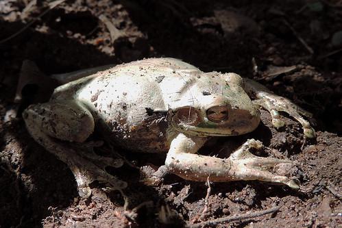San Ignacio - Mexican Tree Frog