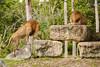 Lions (MarkusR.) Tags: mrieder markusrieder nikon vacation urlaub fotoreise phototrip usa 2015 usa2015 florida sunshinestate sonnenscheinstaat zoo miami animals tiere tier animal löwe löwen lion lions raubtiere predator predatoryanimal