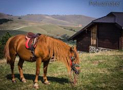 Konjic vranic (Poluamater) Tags: zlatibor planina konj