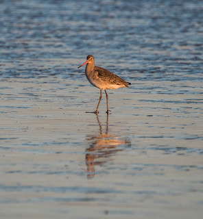 Bar tailed godwit in winter plumage.