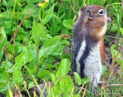 DSC_0712 (rachidH) Tags: squirrel écureuil rodents goldenmantledgroundsquirrel spermophiluslateralis callospermophiluslateralis spermophileàmanteaudoré écureuilterrestreàmanteaudoré spermophileàmanterayée logan pass loganpass westglaciernationalpark montana rockymountains mt rachidh nature