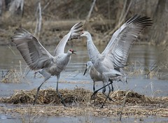 "Showdown of the Sandhill Cranes (Scott ""Burns"" Evans) Tags: crane sandhill scott evans ewing bottoms jackson county indiana winter 2017 february avian bird photography nature"