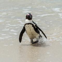 Manchot du Cap-15.jpg (BoCat31) Tags: oiseauaquatique manchotducap faunesauvage afrique mer