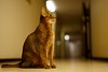 Lizzie in the hallway (DizzieMizzieLizzie) Tags: abyssinian aby beautiful wonderful lizzie dizziemizzielizzie portrait a7ii cat chats feline gato gatto katt katze katzen kot meow mirrorless pisica sony