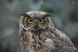 Grand-duc d'Amérique - Great-horned owl - Bubo virginianus
