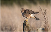Northern Harrier (Pius Sullivan) Tags: bird harrier nature outdoors canada log grass weeds raptor ngc