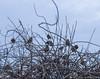 Buddies for life (Vintus Okonkwo fotografi) Tags: bushtits birds winter tufts university evening dried twigs explore discover sky blue