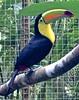 """Overseas Adventure Travel"", ""Route of the Mayas"", Honduras, Macaw Mountain, OAT, Toucan (David McSpadden) Tags: overseas adventure travel route mayas honduras macawmountain oat toucan routeofthemaya"