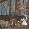 BuckPair (jmishefske) Tags: wehr buck nature d500 center whitnall milwaukee franklin january antler wildlife rack wisconsin doublepalm lowbrow park whitetail 2017 deer nikon