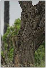 _DSC5616PJ_resultat (http://phj.bookfoto.com/) Tags: botswana philippe jubeau afrique delta okavango babouin