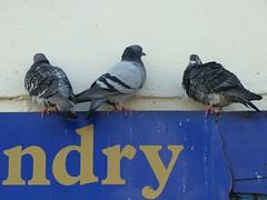 High n Dry - 17 January 2017 (John Oram) Tags: pigeons birds 2002p1140758c