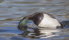Diving Tufted Duck - Male (Mick Erwin) Tags: nikon afs 600mm f4e fl ed vr lens d810 mick erwin stoke trent staffordshire wildlife nature tufted duck male
