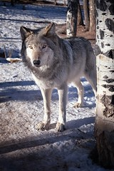Eyes of the Misunderstood (Theodore A. Stark) Tags: ifttt 500px 2013 2014 5d mark ii co cwwc canon colorado wolf wildlife center divide stark tstarkcom ted theodore a timber timberwolves usa winter wolves