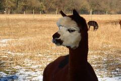 Kapuzenpulli (ivlys) Tags: germany hessen weiterstadt gehabornerhof lunaalpaka alpaca tier animal nature ivlys