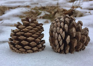 #Pine #cone #branch #pinecones #leaves  #ground #woods #mike #Liebler #mikey #Connecticut #Vernon #CT #USA