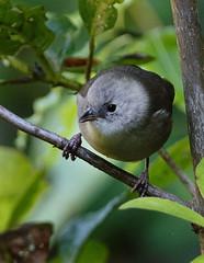 IMGP2807 Whitehead Zealandia Wellington NZ 11-06-15 (Donald Laing) Tags: new plants birds donald zealand wellington sanctuary laing zealandia