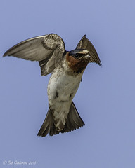 Cliff Swallow (Bob Gunderson) Tags: california birds northerncalifornia southbay swallows santaclaracounty cliffswallow shorelinelake canoneos7dmarkii petrochelideonpyrrhonta