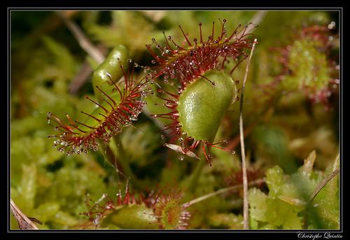 Drosera à feuilles rondes (Drosera rotundifolia)