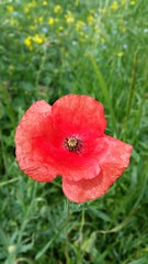 Poppy (Max Jongkoen) Tags: flower nature phonepic outdoor poppy klaproos bloem samsunggalaxys5