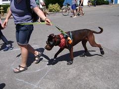 Fremont Solstice fair  DOG PARADE.    160 (Hmm.....) Tags: cola seattlewa dogparade fremontsolsticefair citizensforoffleaseareas