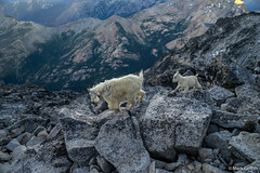 Mama and Baby Goat (Mark Griffith) Tags: climb washington hiking top hike climbing mountaineering summit epic alpinism overnighter mtstuart alpinelakewilderness mountstuart benighted wildernesss 20150704dsc07780
