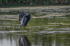 Walking on water (VanveenJF) Tags: green bird heron water river walking movement nikon landing shore stalbert biglake d7100