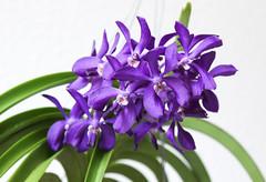 Vanda Thai Sky (blumenbiene) Tags: flowers sky orchid flower orchids lila thai vanda orchidee blte violett blten orchideen orchideenblte