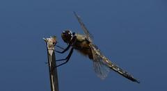 Libellule au repos (Pierre Le Provost) Tags: macro st golf nikon d pierre bretagne bleu ciel le 5300 samson chaud libellule aile provost oeuil