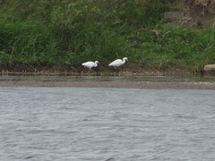Little Egrets (spaceyt29) Tags: trees white water bushes egret