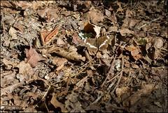 Petit sylvain femelle (Limentis camilla) (Laurent Cornu) Tags: macro dordogne papillon marron juillet canon100mmmacro 2015 sousbois femelle whiteadmiral macrophotographie lepidoptère mainlevée limenitiscamilla 60d rhopalocère petitsylvain