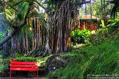 Underneath the Banyan Tree (sminky_pinky100 (In and Out)) Tags: banyantree deshaies guadeloupe caribbean tropical botanicalgardens travel tourism plants redbench omot tree foliage green nature