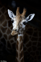 Smile (PeteWPhotography) Tags: giraffe young look eye colour black pattern