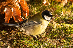 Musvit - Great Tit - Parus major