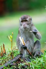 Snack (Bryn Tassell) Tags: bako bakonationalpark borneo jungle mala malaysia tropical long tailed macaque monkey crabeating