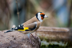 Goldfinch - Calke Abbey (irelaia) Tags: wild bird finch abbey calke goldfinch
