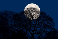 Full moon behind silhouetted trees (Ian Redding) Tags: british england uk bare beautiful bluesky branches countryside dark deciduous defoliated fullmoon large moon night northernhemisphere silhouette silhouetted trees winter bath unitedkingdom gb