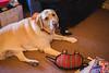 Christmas at Mary's (SheehanRaziel) Tags: christmas tree holidays dog lab labrador