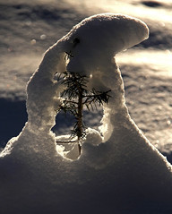 Breaking free (windyhill623) Tags: snow tree seedling winter backlighting beautifullight fir sun sunlight afternoon afternoonlight outdoor landscapedetail translucence white 100v10f