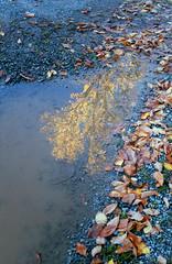 Maple Tree Reflection (jvde) Tags: 3570mmf3345nikkor coolscan film fujicolor nikon nikonfe surrey gimp