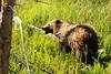 Shaggy Bear (RPahre) Tags: grizzly grizzlybear bear sow yellowstone yellowstonenationalpark wyoming