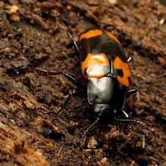 Large Pleasing Fungus Beetle