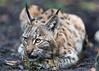 Lynx in a ball (Tambako the Jaguar) Tags: lying resting ground ball cute portrait lynx wild cat karlsruhe zoo germany nikon d4