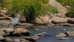 white-faced heron (Egretta novaehollandiae)-7126 (rawshorty) Tags: rawshorty birds canberra australia act lakeeucumbene
