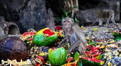 ,, Buffet ,, (Jon in Thailand) Tags: monkey jungle primate watermelon banana jackfruit themonkeytemple fruit red yellow green wildlife wildlifephotography junglephotography eyes mango nikon nikkor d300 175528 drainpipe bolders papaya orange piggingout upclose