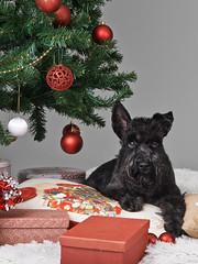 Jolamyndataka hundafimi_2016_986 (Stefán H. Kristinsson) Tags: jólamyndataka jolamyndataka christmas christmassession hundur hundar hundafimideild hrfí nikond800 tamron2875mm
