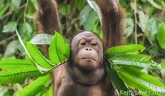 Just hanging out (keithhull) Tags: sepilok orangutan reserve borneo sabah malaysia 2013